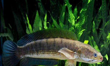 Kandungan Albumin Pada Ikan Gabus