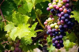 Manfaat Yang Bisa Dipetik Dari Buah Anggur