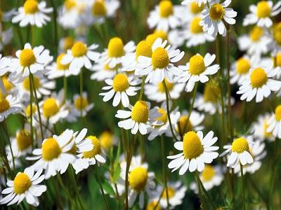 Manfaat Bunga Chamomile Bagi Kesehatan