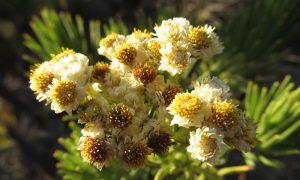 Menakjubkan! Tak Hanya Cantik Ternyata Bunga Edelweis Memiliki Khasiat Dan Manfaat