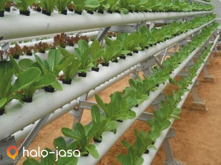 usaha budidaya sayuran organik urban farming